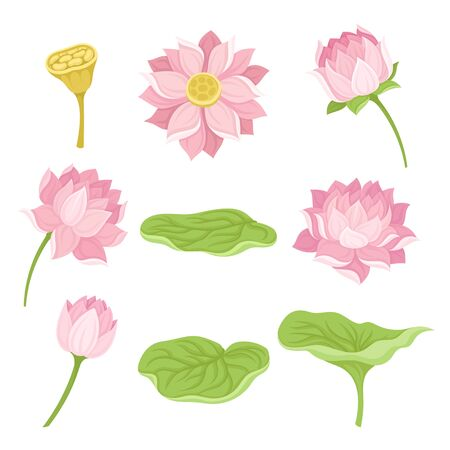 Waterlily Flower and Its Parts Vector Set Isolated On White Background. Aquatic Beautiful Flower Concept Standard-Bild - 133962185