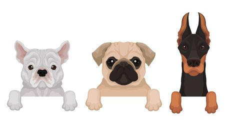 Dogs bulldog, pug and doberman peep out. Vector illustration on a white background. Illustration