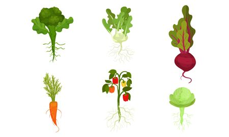 Set of carrots, peppers, cabbage, beets, turnips on stems with roots. Vector illustration.