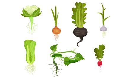 Root crops with stems and roots. Vector illustration on a white background.