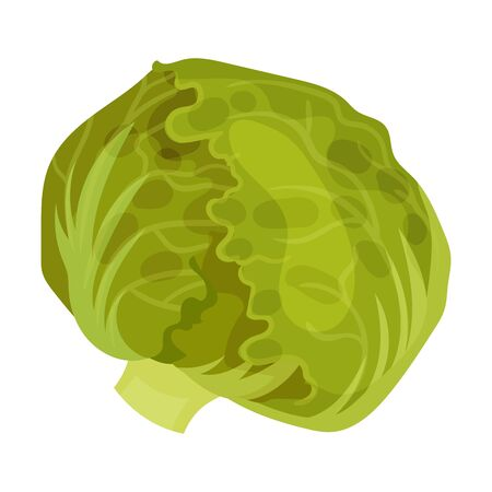 Cabbage Head. Vegetarian Crop Isolated On White Background Ilustracja