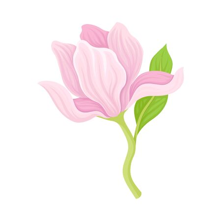 Gently Pink Magnolia Bloomed Flower Vector Item. Decorative Botanical Flora Concept