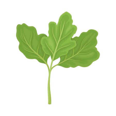 Parsnip Leaves Vector Illustrated Item. Detailed Agricultural Crop Drawing Ilustracja