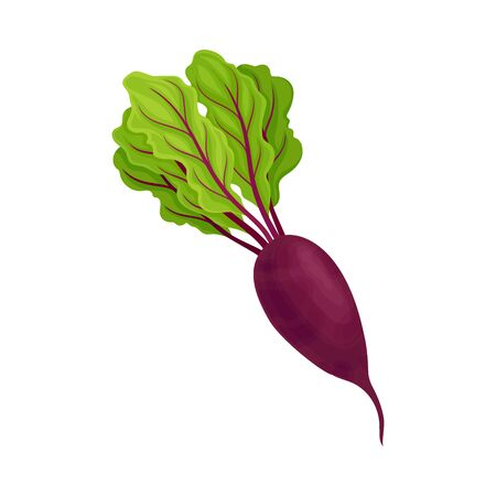 Whole Beet-Root With Beet Tops Vector Illustration