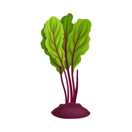 Whole Beet-Root With Beet Tops Peeped Out From the Ground Vector Illustration. Healthy and Vitamined Vegetable Concept Stock fotó - 134558172