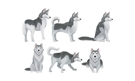 Siberian Husky Vector Set. Purebred Doggy in Different Poses. Friendly Arctic Canine