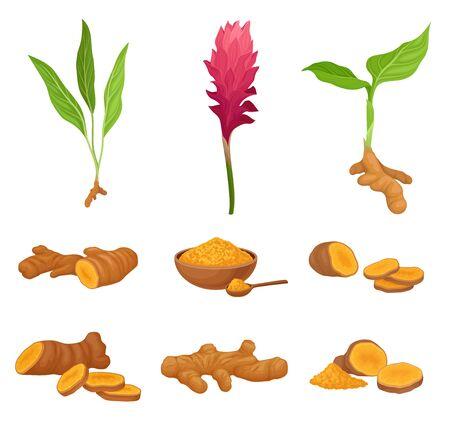 Conjunto con diferentes partes de la ilustración de Vector de planta de cúrcuma
