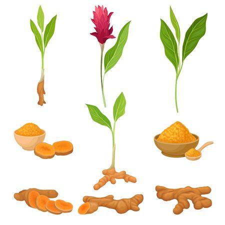 Different Parts Of Asian Curcuma Plant Vector Illustration Set