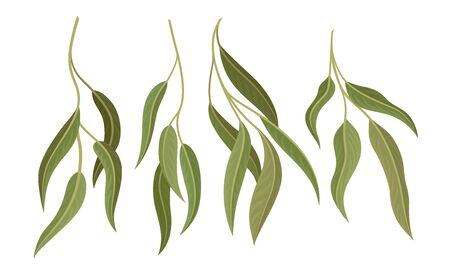 Willow Eucalyptus Branches with Leaves Vector Set. Botanical Design Elements. Realistic Evergreen Tree Twigs