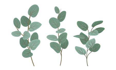 Eucalyptus Branches with Leaves Vector Set. Botanical Design Elements. Realistic Evergreen Tree Twigs Reklamní fotografie - 135396832