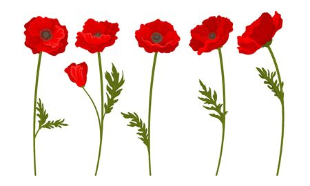 Red Poppy Flowers on Stems Vector Set. Botanical Floral Concept. Wildflower Petal Collection