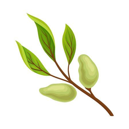 Green Almond Branch with Fruits Vector Illustration. Fresh Garden Leaf with Offspring Decoration Reklamní fotografie - 135463883