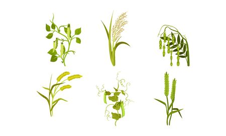 Cereal Agricultural Plants Isolated on White Background Vector Set