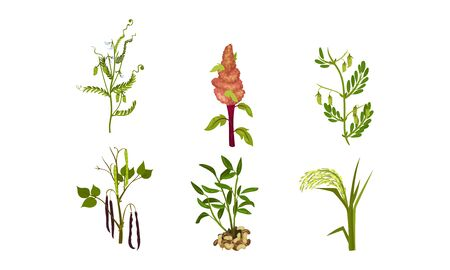 Legume Plants with Leaves, Pods and Flowers Vector Set Ilustrace