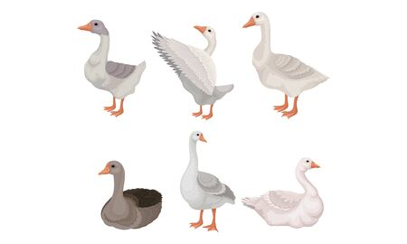 Grey and White Geese Standing with Stretched Wings and Sitting on the Ground Vector Illustrations Stok Fotoğraf - 137580578
