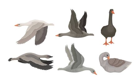 Greylag Geese in Flying Pose with Stretched Wings and in Standing Pose Vector Set