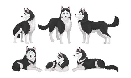 Husky in Different Poses Isolated on White Background Vector Set