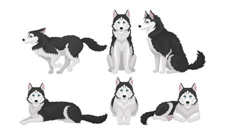 Husky in Different Poses Isolated on White Background Vector Set. Purebred Domestic Animal Concept