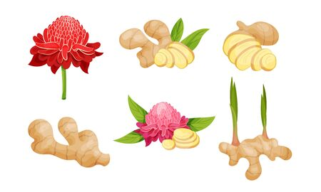 Ginger Roots and Flowers Isolated on White Background Vector Set