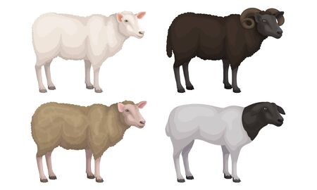 Farm Cattle with Hornes and Wooly Coat Vector Set 矢量图像