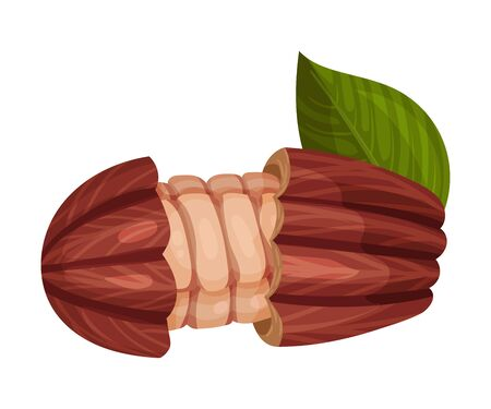 Cocoa Pod Cut into Halves with Many Beans Inside Vector Illustration