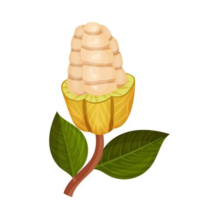 Green Shelled Cocoa Pod with Beans Inside Realistic Vector Illustration. Exotic Organic Nutrition Containing Theobromine Concept