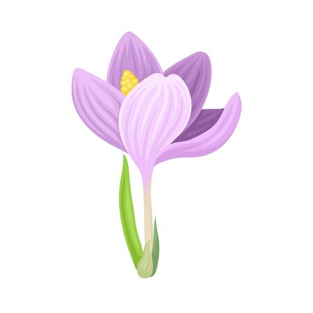 Tender Crocus with Opened Purple Petals On Stem Vector Botanical Item