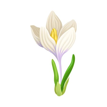 Tender Crocus with Opened White Petals On Stem Vector Botanical Item