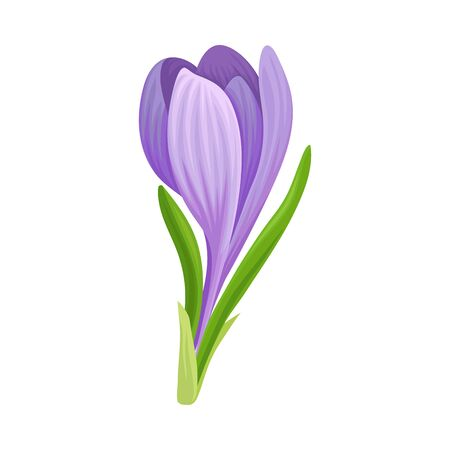 Tender Crocus with Purple Petals On Stem Vector Botanical Item