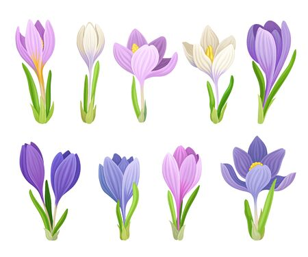 Tender Crocuses with Purple Petals On Stems Vector Set