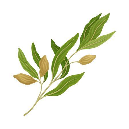 Ramoscello di salvia come erba da cucina per cucinare l'elemento vettoriale Vettoriali