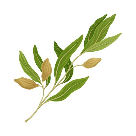 Sage Twig as Kitchen Herb for Cooking Vector Element Ilustracje wektorowe