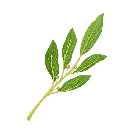 Lorbeerzweig als Küchenkraut zum Kochen von Vektorelement