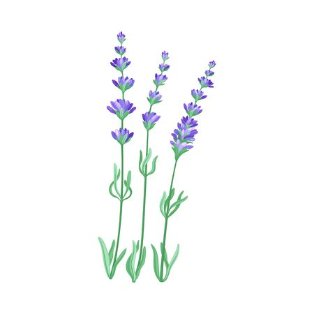Lavender Twig as Kitchen Herb for Cooking Vector Element