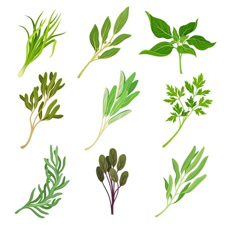 Herbs as Condiment and Food Ingredients Vector Set. Aromatic Fresh and Ripe Green Seasoning Collection