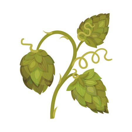 Hop Plant with Leaves and Cones Isolated on White Background Vector Element Vettoriali