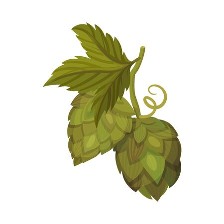 Hop Plant with Leaves and Cones Isolated on White Background Vector Element 向量圖像