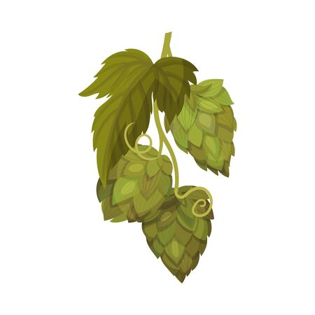 Fresh Hop Plant with Cone and Green Leaves Isolated on White Background Vector Illustration Ilustração
