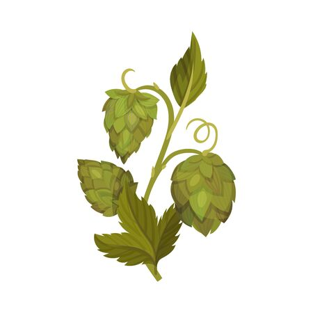 Fresh Hop Plant with Cones and Green Leaves Isolated on White Background Vector Illustration Stock Illustratie