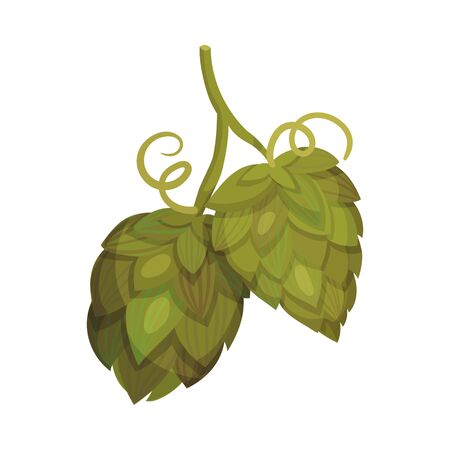 Fresh Hop Plant with Cones and Green Leaves Isolated on White Background Vector Illustration. Organic Natural Malt Ingredient for Craft Beer Alcohol Drink Production Ilustração