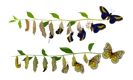 Butterfly Metamorphosis from Caterpillar to Full-bodied Specie Vector Illustration. Entomology Transformation and Insect Growth Concept  イラスト・ベクター素材