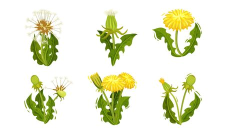 Dandelion Flowers with Bright Yellow Blossom Cluster Vector Set