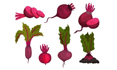 Beet Vegetable with Top Leaves. Whole and Cut Agricultural Crop Vector Set Illusztráció
