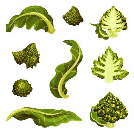 Romanesco Cabbage Isolated on White Background Vector Illustration Set. Organic Vegetarian Product Concept Ilustração