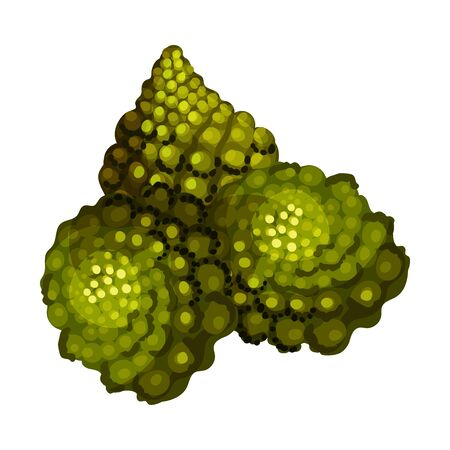 Blossom Cluster of Romanesco Cabbage Rich of Carotinoid Isolated on White Background Vector Illustration. Organic Vegetarian Product Concept 矢量图像