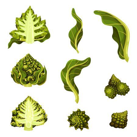 Romanesco Cabbage Isolated on White Background Vector Illustration Set