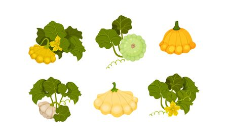 Ripe Bush Pumpkin or Custard Squash with Green Leaves Vector Set. Organic Food Concept