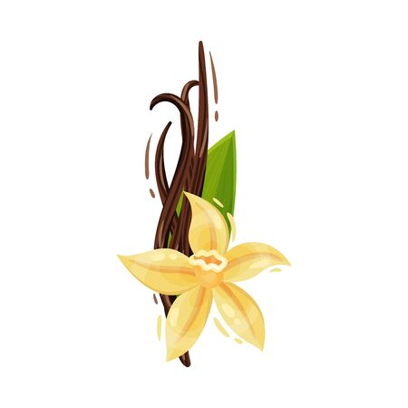Vanilla Flower and Dried Sticks Isolated on White Background Vector Composition
