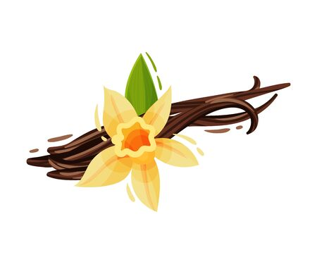 Vanilla Flower and Dried Sticks Isolated on White Background Vector Composition. Aromatic Food Ingredient and Organic Spice Concept