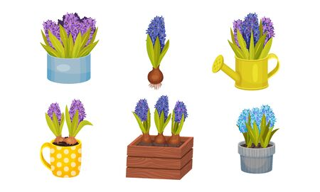 Hyacinth Flower Bunch in Blue Color Growing in Flowerpot and Wooden Crate